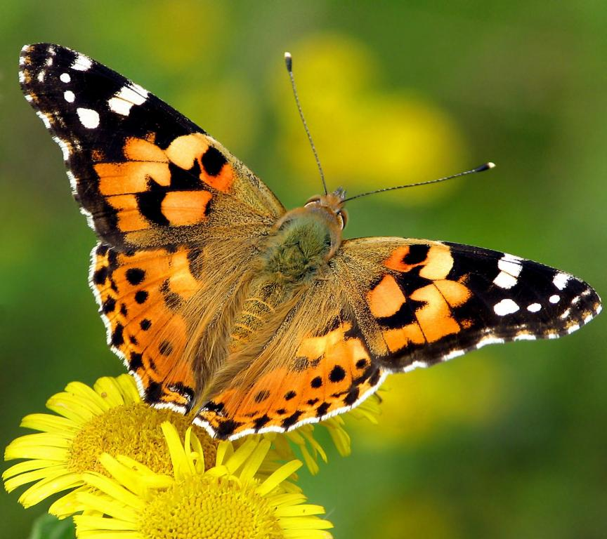 <p>Painted Lady butterfly, <em>Vanessa cardui</em>, Commended 2006 NIW Photography Competition British insect category</p>