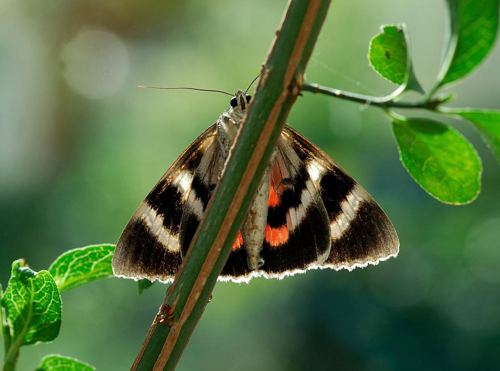 Red Underwing moth, Catocala nupta, Commended 2006 NIW Photography Competition British insect category
