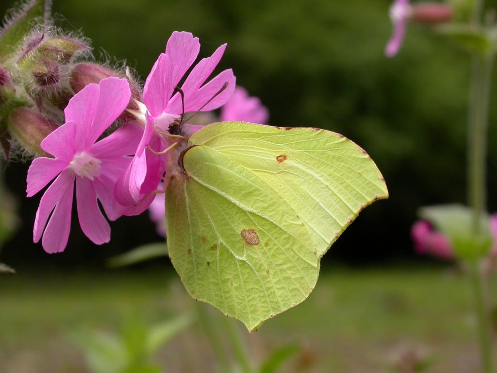 Brimstone butterfly, Highly Commended 2006 NIW Photography Competition British insect category