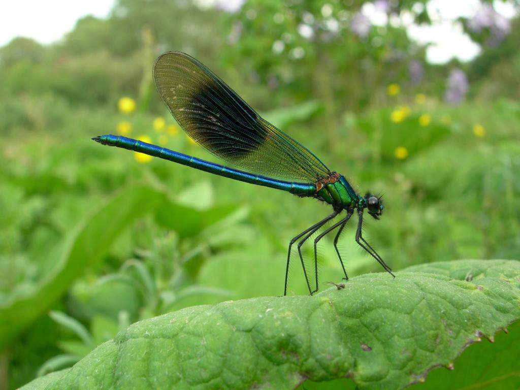<p>Banded demoiselle, <em>Calopteryx splendens</em>, Highly Commended 2006 NIW Photography Competition British insect category</p>