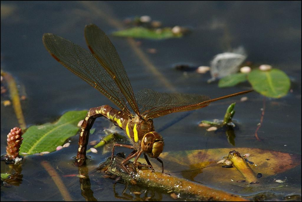 <p>Female Brown Hawker dragonfly <em>Aeshna grandis</em>, Highly Commended 2006 NIW Photography Competition British insect category</p>