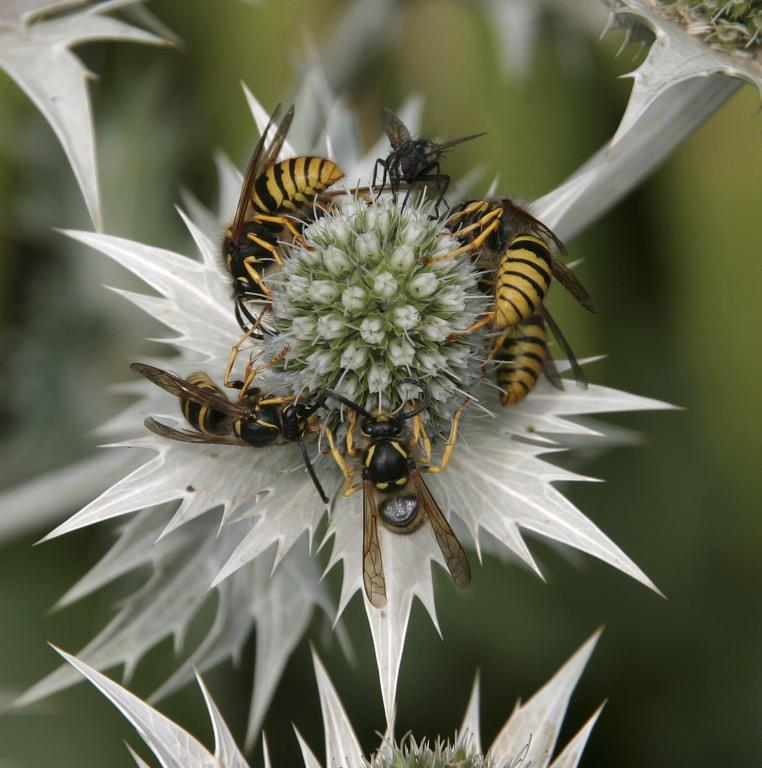 <p>Ouch! Wasps and a fly on flower, Specially Commended 2006 NIW Photography Competition British insect category</p>