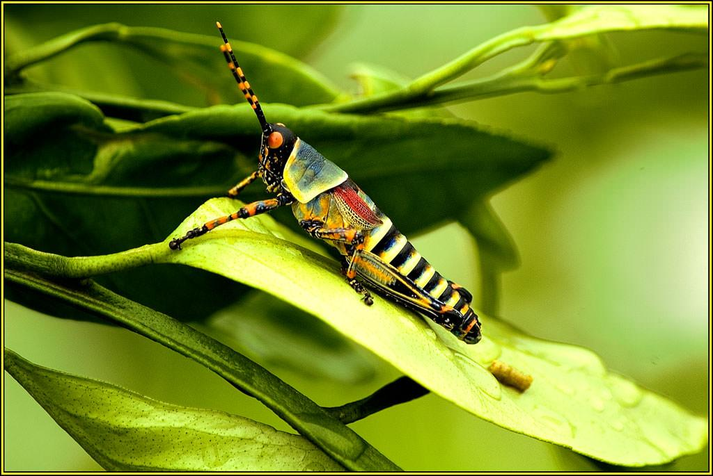 <p>Elegant Grasshopper Nymph, First Prize 2006 NIW Photography Competition foreign insect category</p>