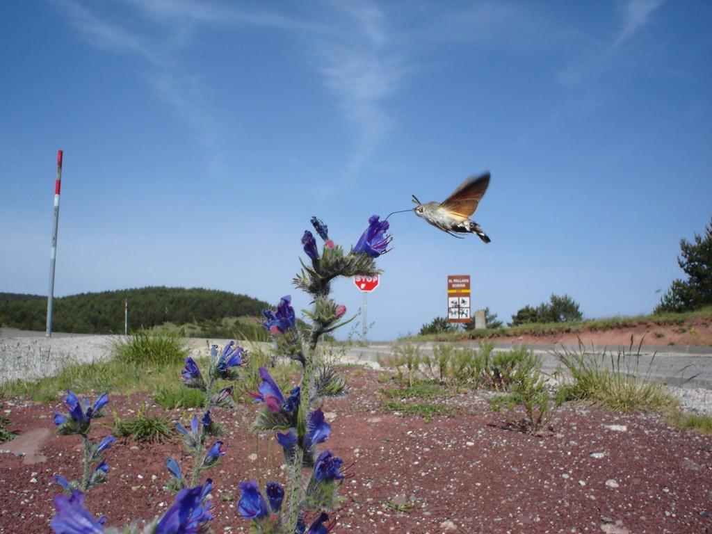 <p>Spanish Flyer, Hummingbird hawk-moth, <em>Macroglossum stellatarum</em>, feeding, Commended 2006 NIW Photography Competition foreign insect category</p>