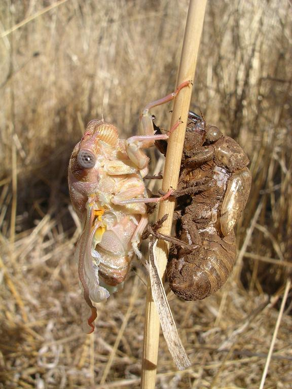 Cicada - newly emerged adult with shed exoskeleton, Highly Commended 2006 NIW Photography Competition foreign insect category