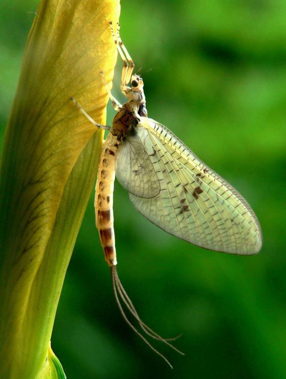 <p>Mayfly on iris bud, First Prize in riverfly category and Commended in adult category 2008 NIW Photography Competition</p>