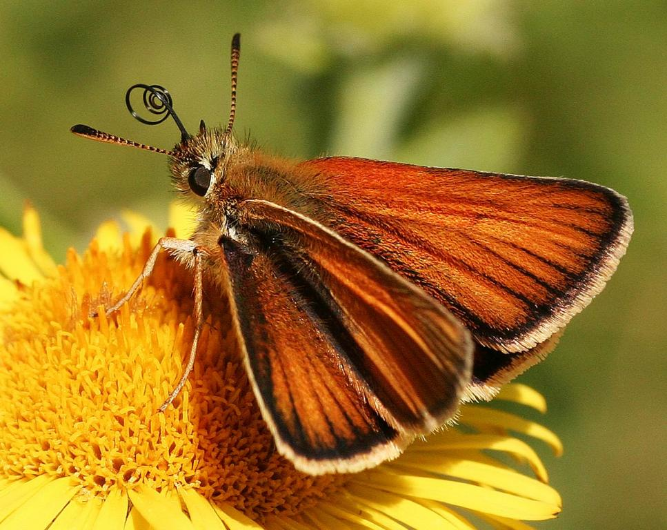 Small skipper butterfly, Thymelicus sylvestris, nectaring, Commended 2008 NIW Photography Competition adult category