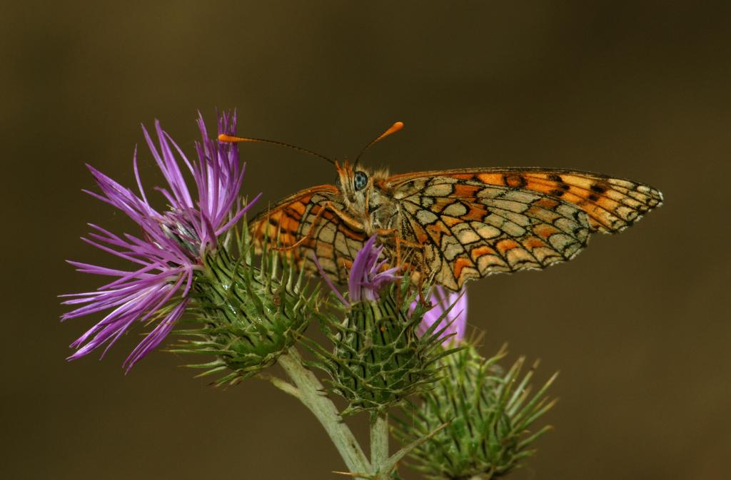 <p>Fritillary butterfly, <em>Melitaea sp.</em>, feeding on knapweed, Commended 2008 NIW Photography Competition adult category</p>