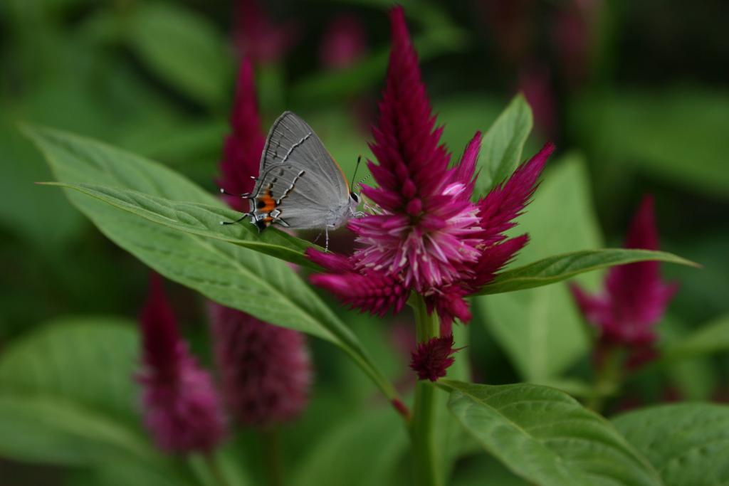 Gray hairstreak butterfly, Strymon melinus, Commended 2008 NIW Photography Competition adult category