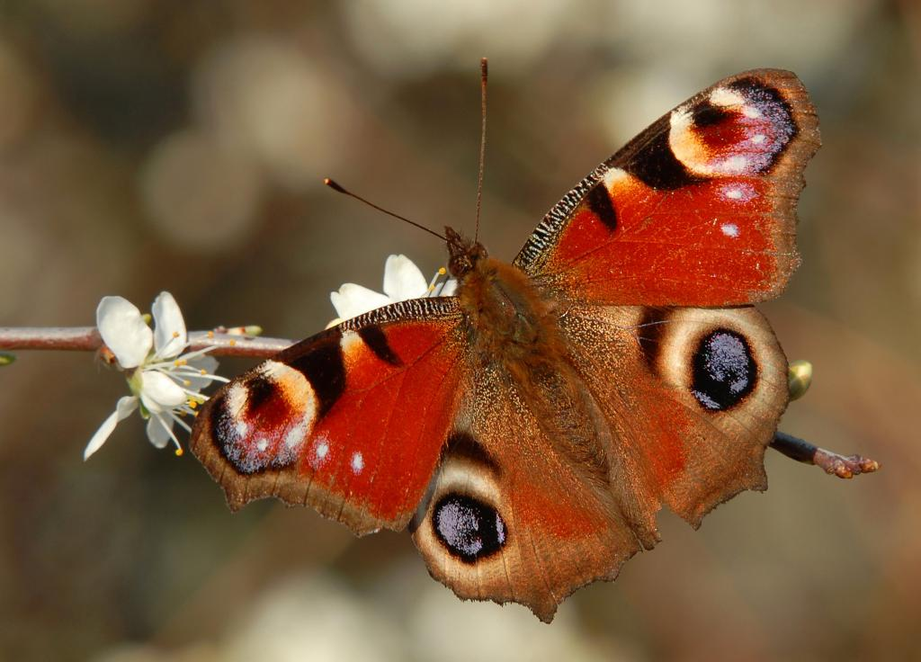 Peacock butterfly, Aglais io, Commended 2008 NIW Photography Competition adult category
