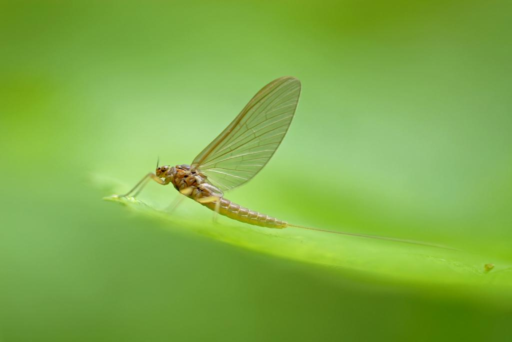 Mayfly, Specially Commended in riverfly category and Commended in adult category 2008 NIW Photography Competition