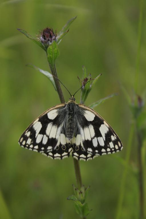 Marbled white butterfly, Melanargia galathea, Commended 2008 NIW Photography Competition adult category