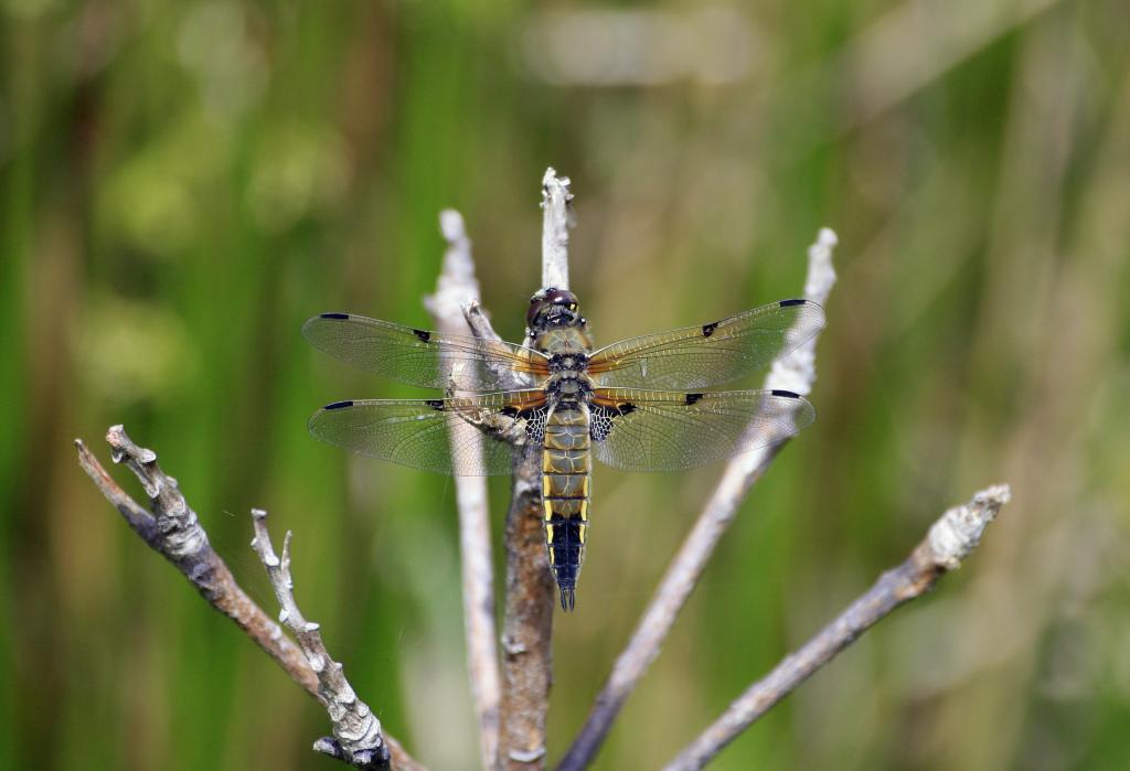 <p>Male four-spotted chaser dragonfly, <em>Libellula quadrimaculata</em>, Commended 2008 NIW Photography Competition adult category</p>