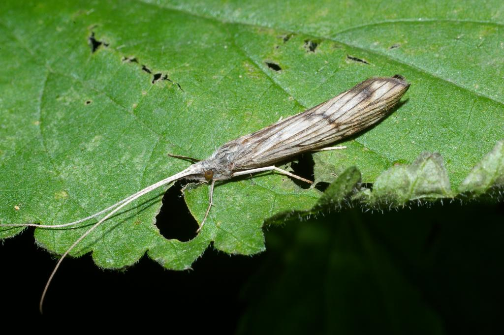 <p>Adult caddisfly, <em>Odontocerum albicorne</em>. Third Prize 2008 NIW Photography Competition riverfly category</p>