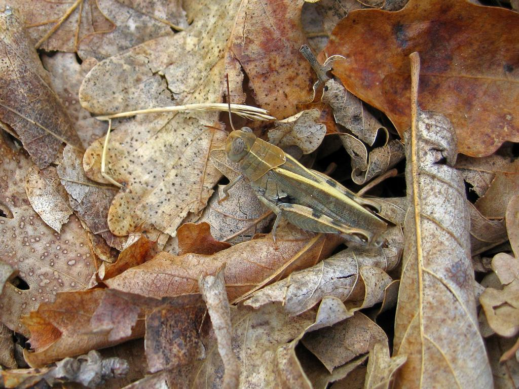 Grasshopper camouflaged on dead leaves in Croatia, Second Prize 2008 NIW Photography Competition adult category