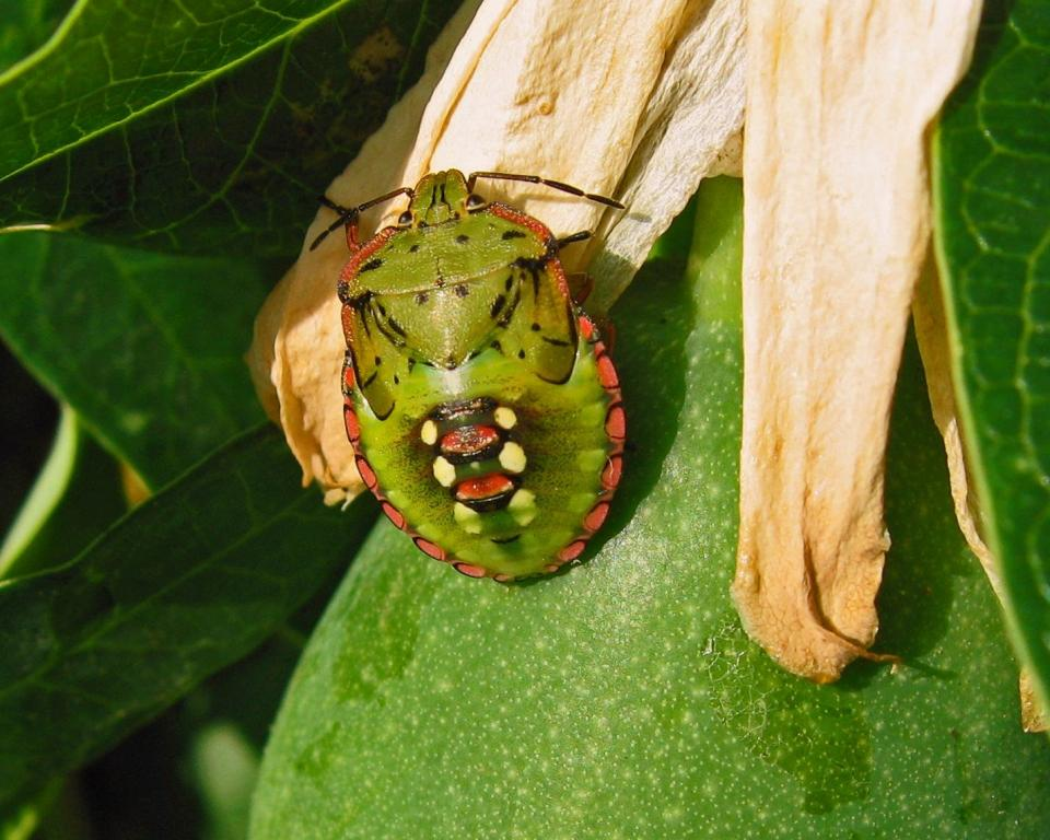 <p>Juvenile vegetable bug on passion fruit in Croatia, Commended 2008 NIW Photography Competition adult category</p>