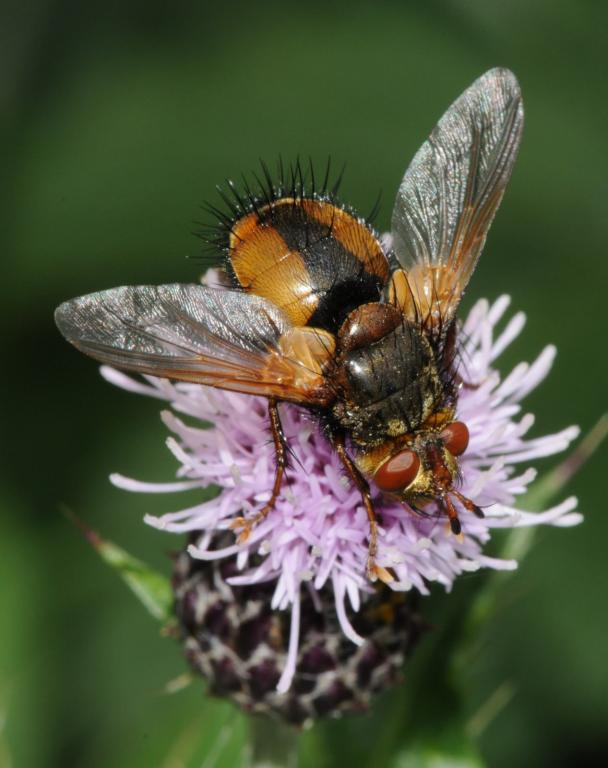 Hoverfly settling on wild orchid, Commended 2008 NIW Photography Competition adult category