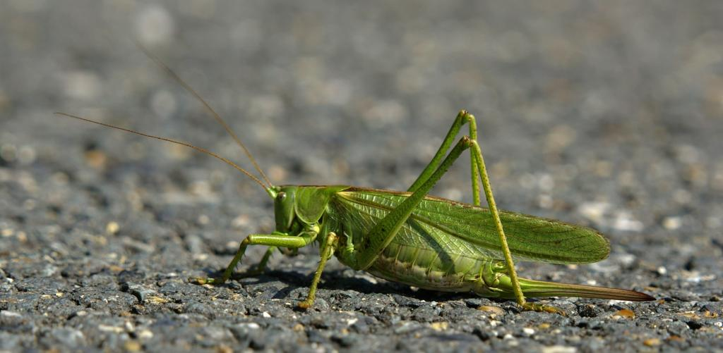 <p>On the road again! Great green bush cricket, Commended 2008 NIW Photography Competition adult category</p>