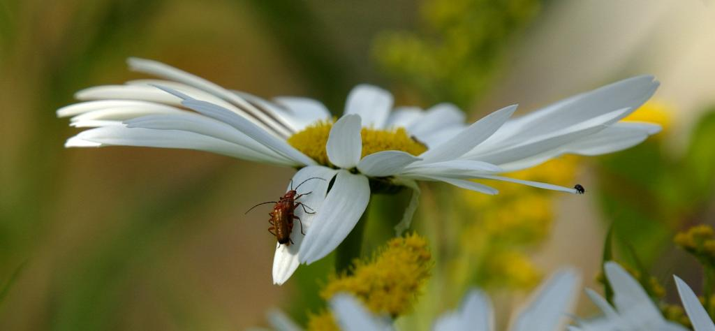 <p>Shy black beetle departs as a pair of soldier beetles, <em>Rhagonycha fulva</em>, mate, Commended 2008 NIW Photography Competition adult category</p>