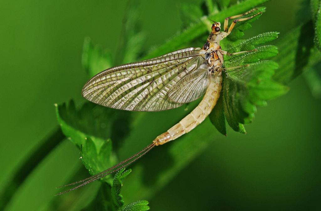 <p>Mayfly, Runner up in 2008 NIW Photography Competition riverfly category</p>