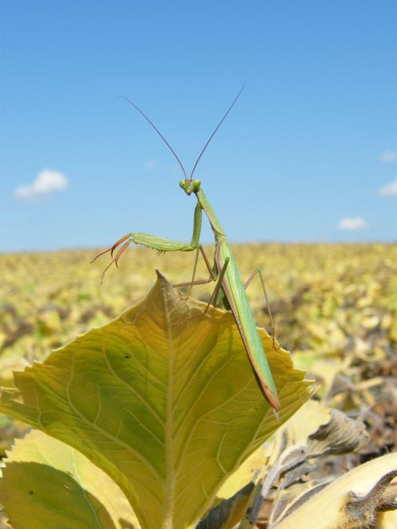<p>Praying mantis in a sunflower field, First Prize 2008 NIW Photography Competition adult category</p>