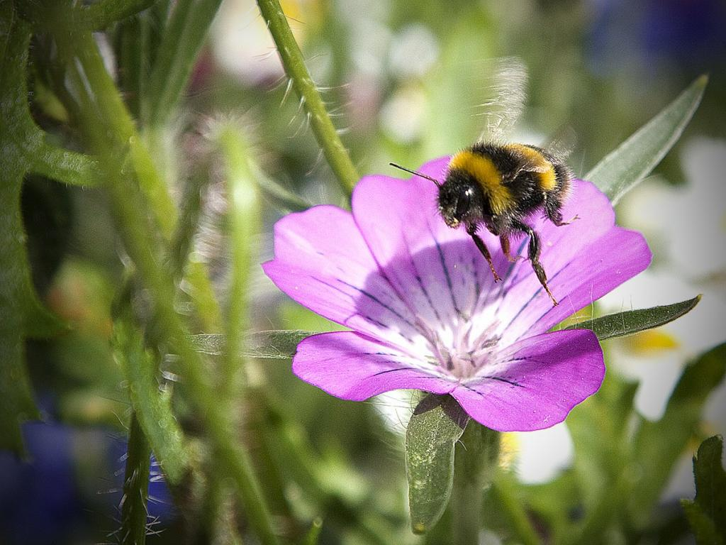 <p>Bumblebee in flight, Commended 2008 NIW Photography Competition adult category</p>