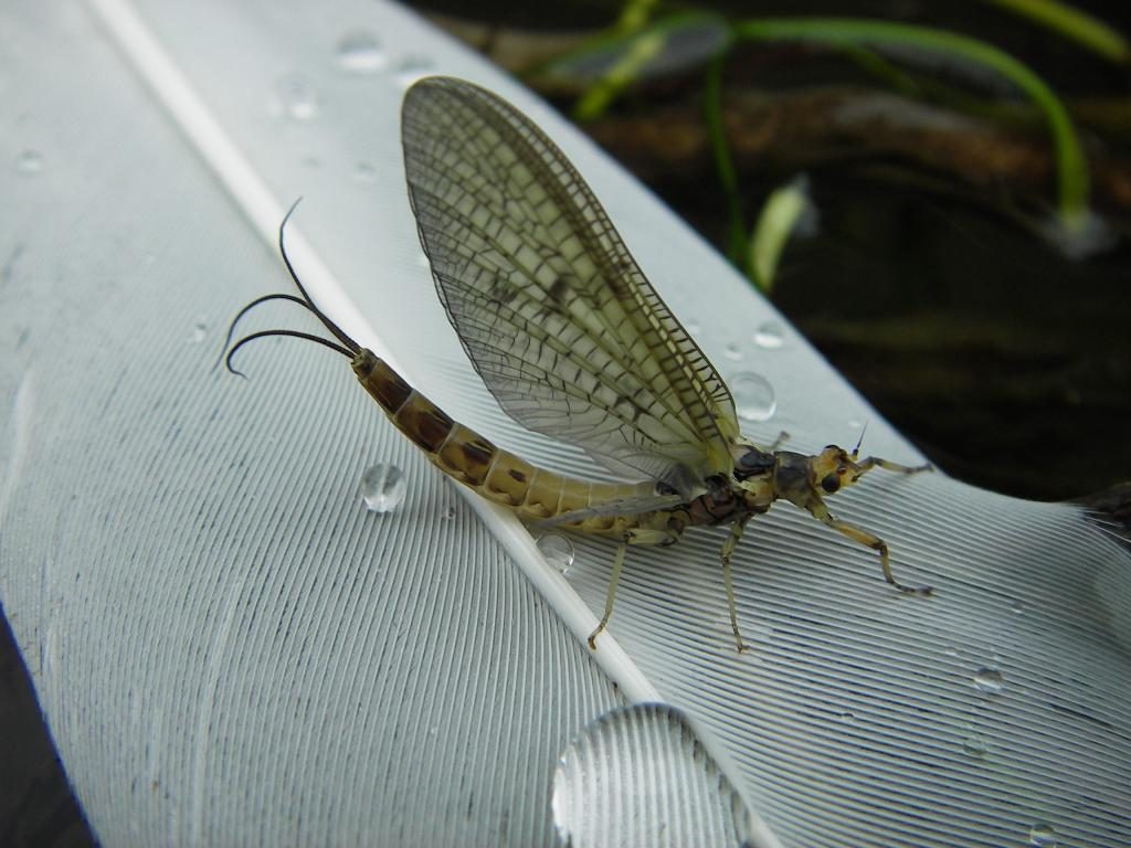 <p>Mayfly rests, Second Prize 2008 NIW Photography Competition riverfly category</p>