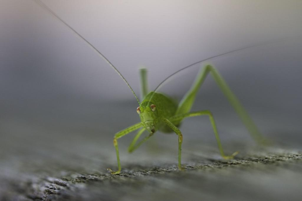 <p>Great green bush cricket, <em>Tettigonia viridissima</em>, Commended 2008 NIW Photography Competition adult category</p>