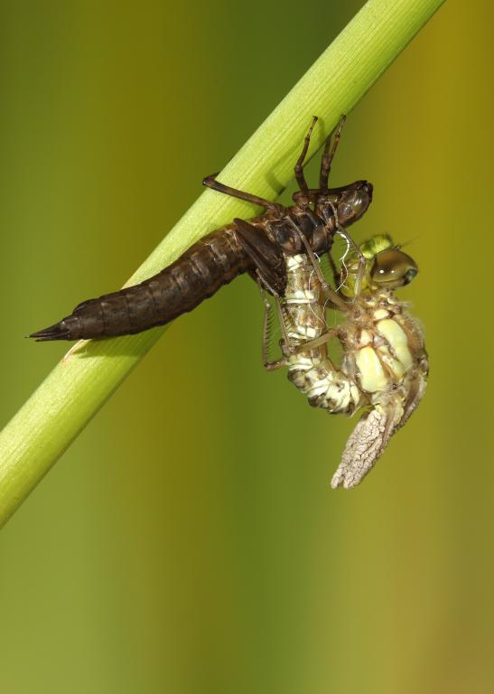 Southern hawker dragonfly, Aeshna cyanea, emerging from nymph, Commended 2008 NIW Photography Competition adult category