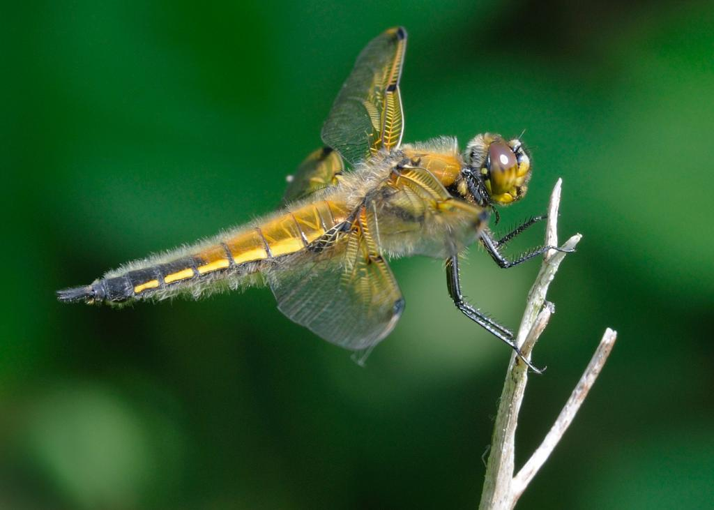 <p>Four-spotted chaser dragonfly, <em>Libellula quadrimaculata</em>, perching, Commended 2008 NIW Photography Competition adult category</p>