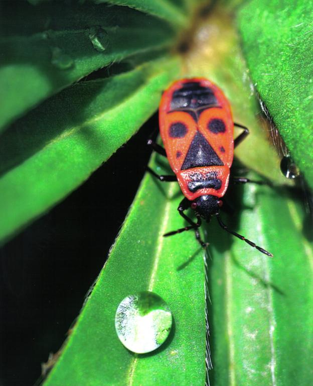 <p>Gendarme firebug,&nbsp;<em><font>Pyrrhocoris apterus</font></em>, Commended 2008 NIW Photography Competition adult category</p>