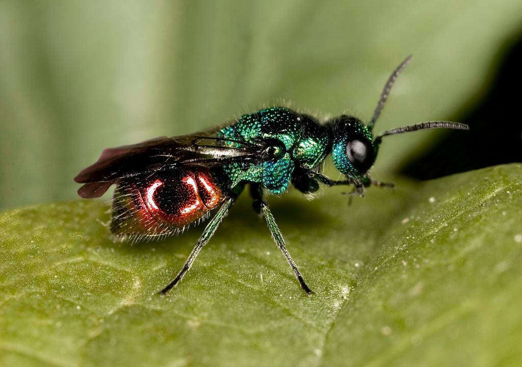 <p>Ruby-tailed wasp, <em>Chrysis ignita</em>. Commended 2008 NIW Photography Competition adult category</p>