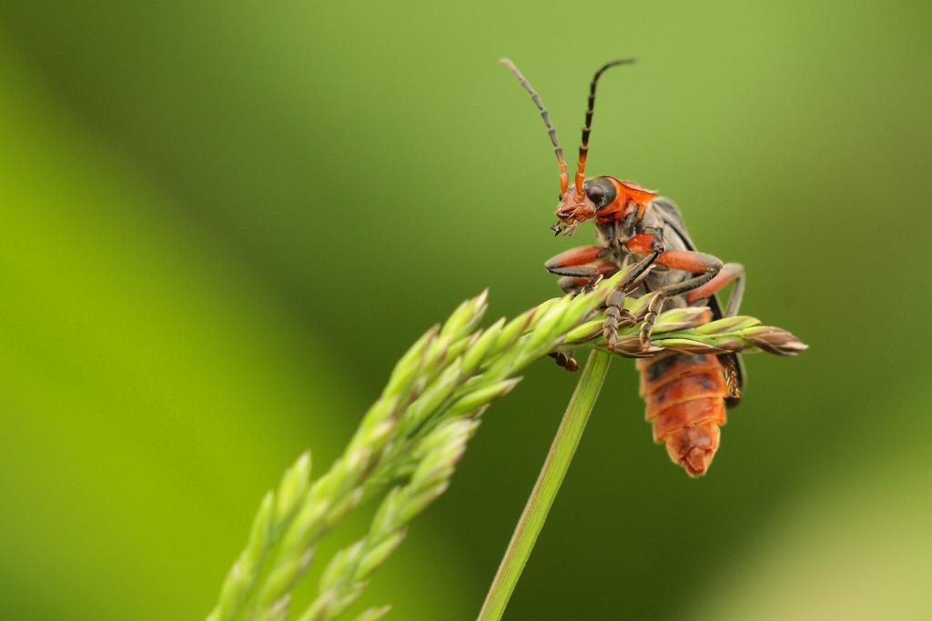 <p>Soldier beetle on sentry duty, Specially Commended 2008 NIW Photography Competition adult category</p>