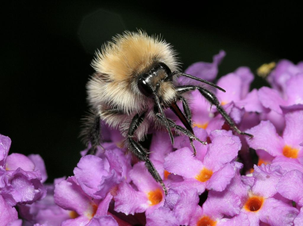<p><em>Bombus </em>on buddleia, Commended 2008 NIW Photography Competition adult category</p>