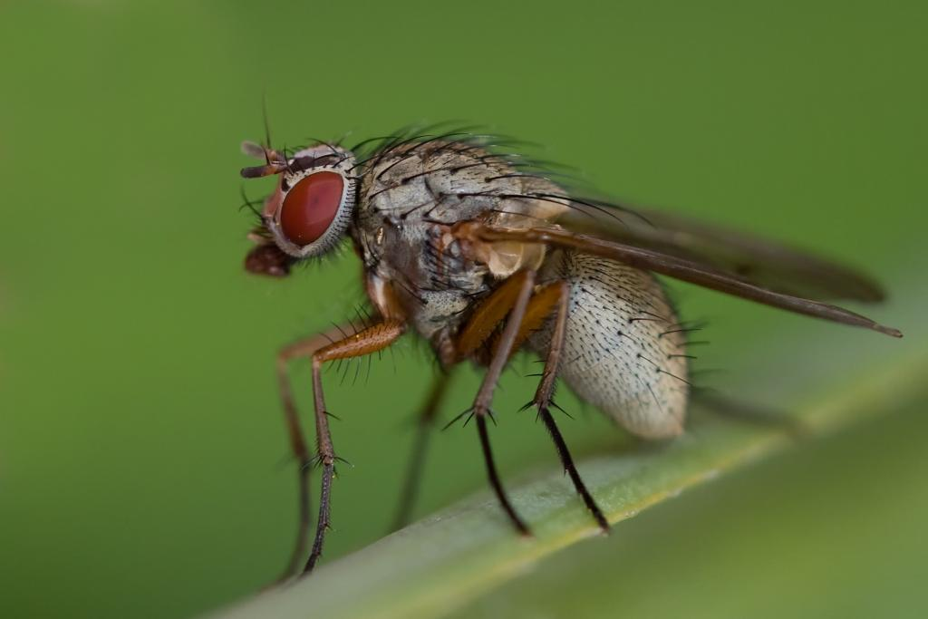 <p>Fly (Muscidae) resting on leaf, Commended 2008 NIW Photography Competition adult category</p>