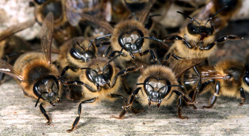<p>On guard! Worker honey bees, <em>Apis mellifera</em>, protect their nest, Commended 2008 NIW Photography Competition adult category</p>