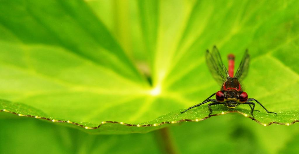 Large red damselfly, Pyrrhosoma nymphula, Commended 2008 NIW Photography Competition adult category