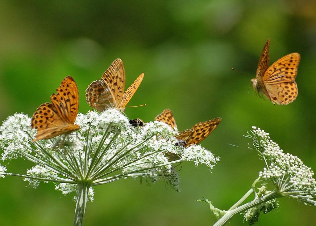 <p>Fritillary butterflies on umbellifer, Second Prize 2008 NIW Photography Competition under 18 category</p>
