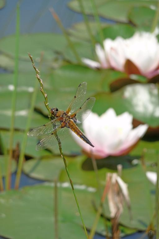 Four-spotted chaser dragonfly, Libellula quadrimaculata, by water lilies, First Prize 2008 NIW Photography Competition under 18 category