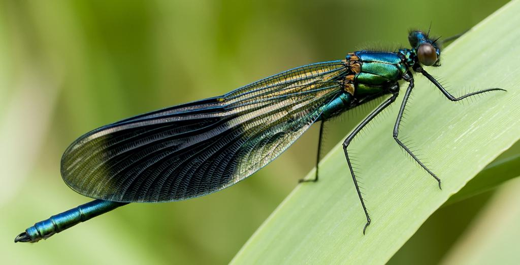 Banded demoiselle, male, Commended in 2014 NIW Photography Competition Small is Beautul category