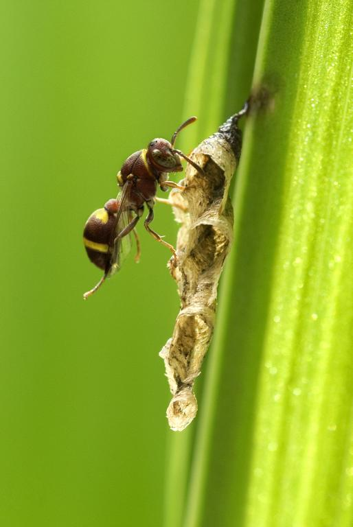 Small paper wasp building nest, Commended 2014 NIW Photography Competition Insects Alive category