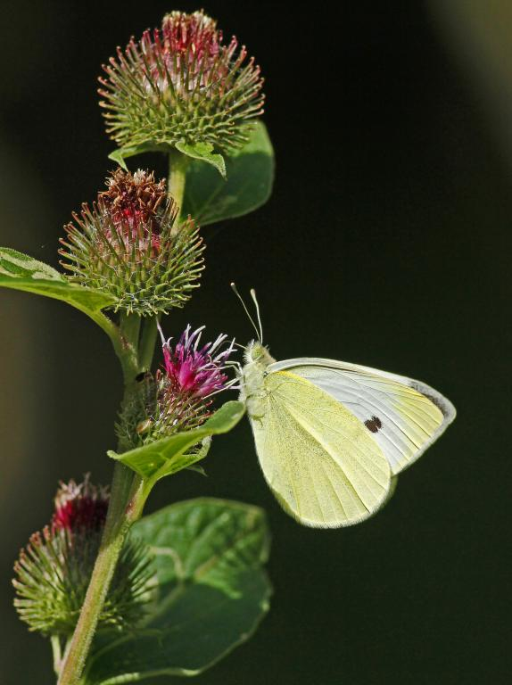 Small white feeding, Commended 2014 NIW Photography Competition Insects Alive category