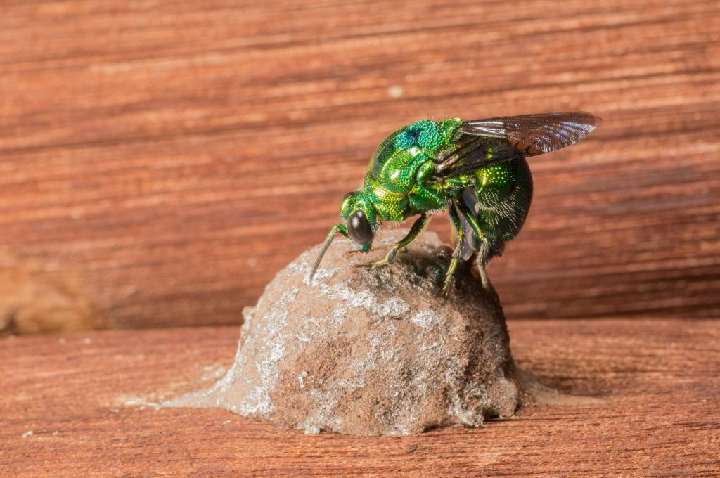 <p>Cuckoo wasp laying an egg, Commended 2014 NIW Photography Competition Insects Alive category</p>