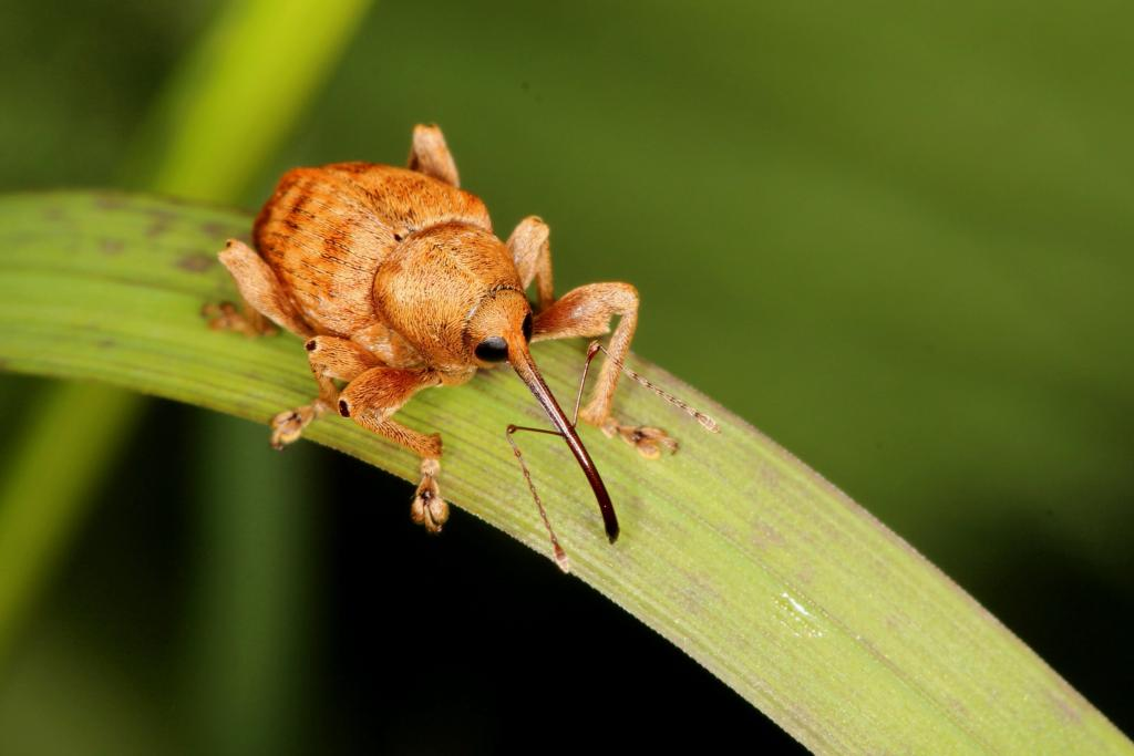 Acorn weevil (Curculio glandium) on a stem of grass, Commended in 2014 NIW Photography Competition Small is Beautiful category