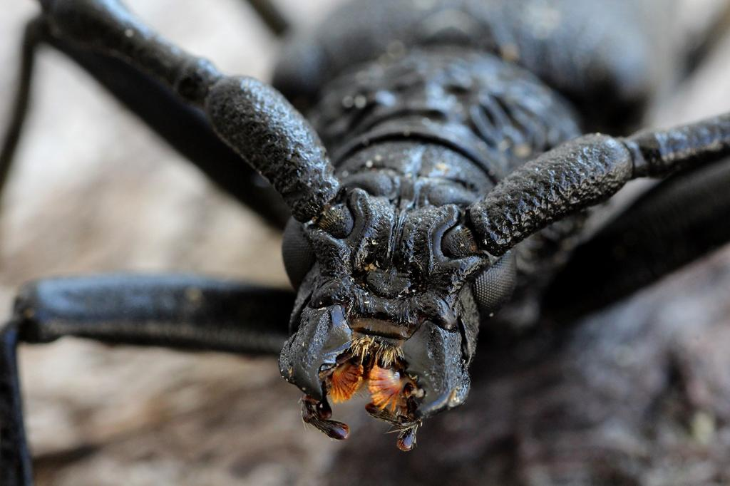 Longhorn beetle (close-up), Commended in 2014 NIW Photography Competition Small is Beautiful category