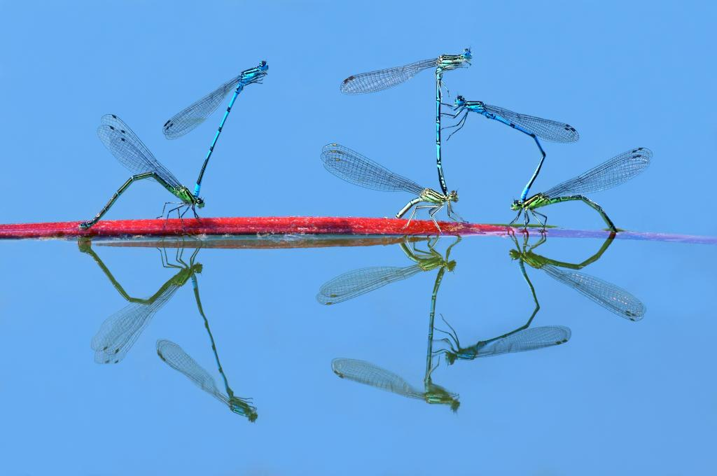 Damselflies mating, First Prize 2014 NIW Photography Competition Insects Alive category