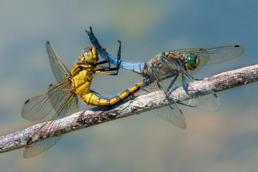 <p><em>Orthetrum cancellatum</em> dragonflies mating, Commended 2014 NIW Photography Competition Insects Alive category</p>
