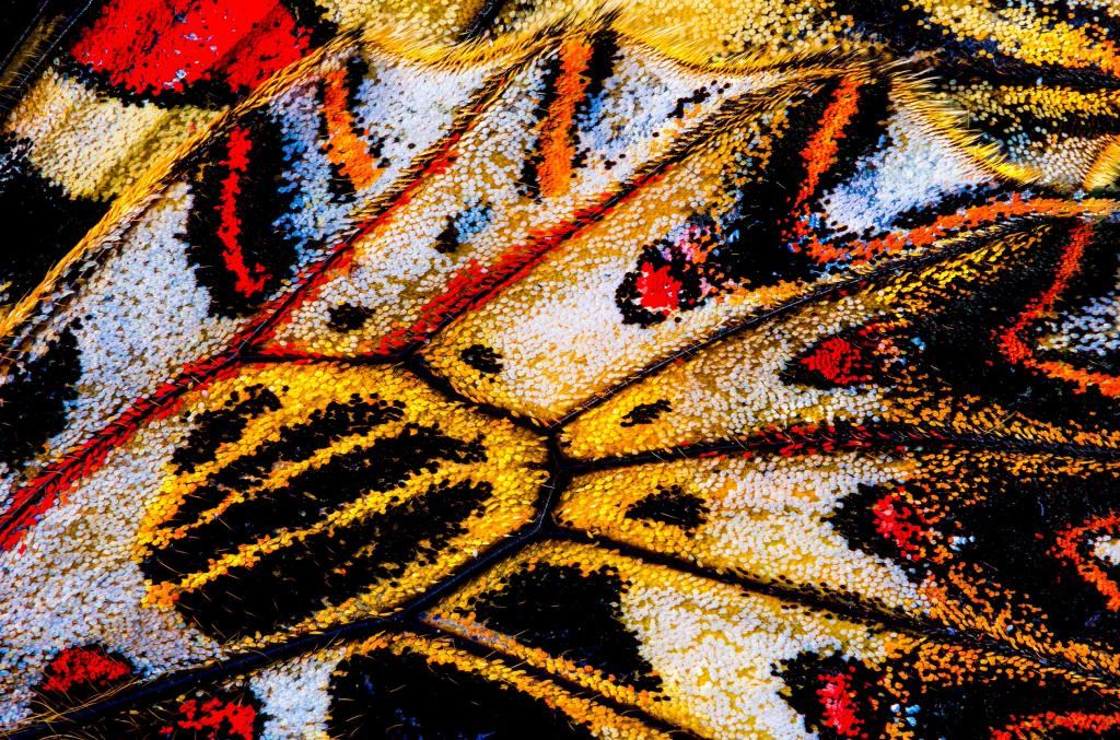 Zerynthia polyxena wing, Commended in 2014 NIW Photography Competition Small is Beautiful category