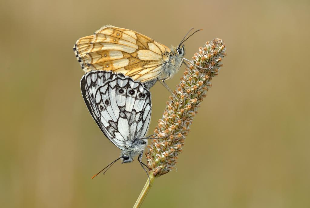 Marbled whites mating, Commended 2014 NIW Photography Competition Insects Alive category