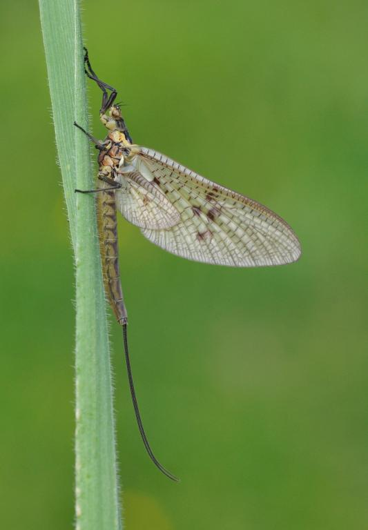 Mayfly, Commended in 2014 NIW Photography Competition Small is Beautiful category
